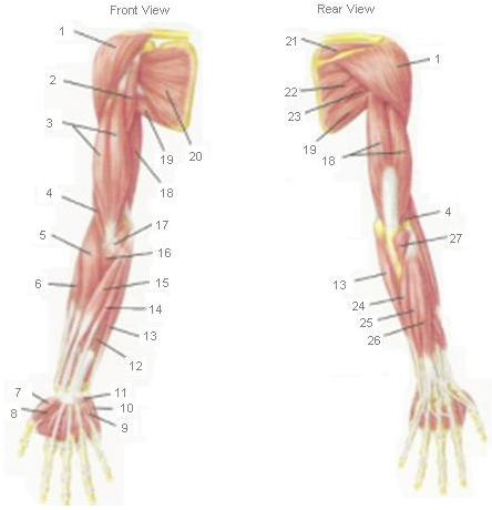 Arm Muscles Diagram Blank - DIY Enthusiasts Wiring Diagrams •