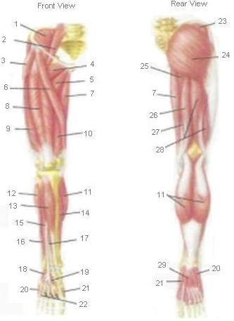 howtomassagelegmuscles.jpg